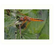 female Scarce Chaser dragonfly Art Print