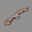 Great Grey In flight by Dave  Knowles