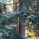 Sun pressing through fir trees by TerrillWelch