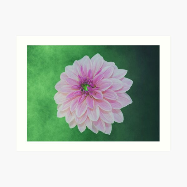 Creme Pink Dahlia On Green Art Print