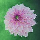 Creme Pink Dahlia On Green by hurmerinta