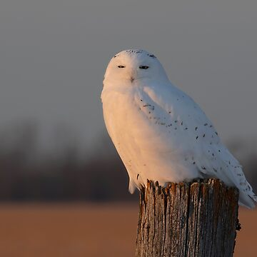 Male Snowy owl on a post by darby8
