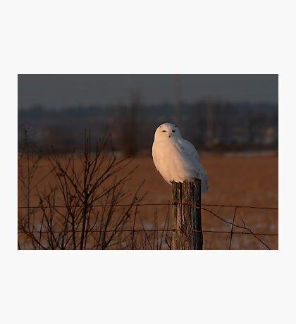 Male Snowy Owl Photographic Print