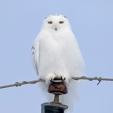 Snowy owl on the wire by darby8