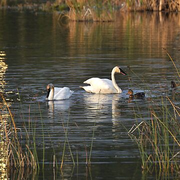 Trumpeter Swans - Potter Marsh - Anchorage by buzzword