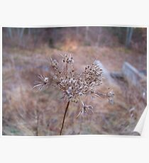 Late Year Queen Anne's Lace Poster