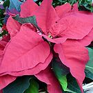 Red Poinsettia  by Woodie