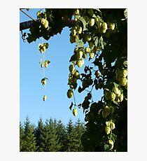 hop vines on an arbor Photographic Print