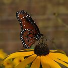 A Queen on a Black-Eyed Susan by Corkle