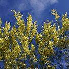Sydney Golden Wattle by Erland Howden