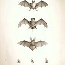 Bats of Egypt Vintage Drawings by Douglas E.  Welch