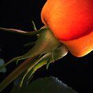 Rose Macro. by Vitta