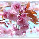 Cherry Blossom by Morag Bates