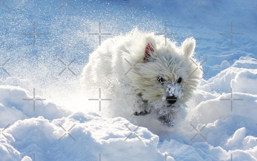 Westie in the snow by Gemma  Simpson