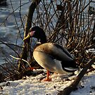 The Speculating Duck by KChisnall