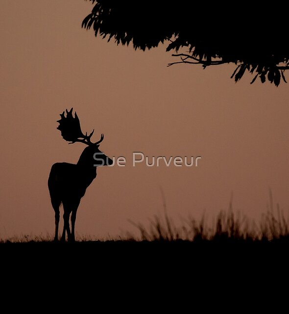 Stag at sunrise by Sue Purveur