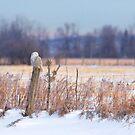 A snowy owl landscape by Jim Cumming