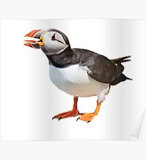 Puffin with big tongue Poster