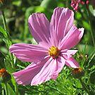 wundervolle pinke Kosmee Blume, Schmuckkörbchen von rhnaturestyles