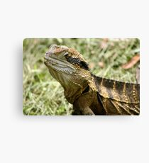 Eastern Water Dragon enjoying the feast after lawn mowing Canvas Print