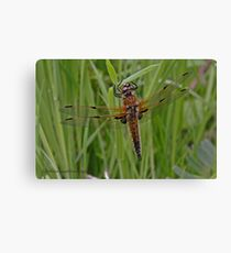Four-spotted Chaser dragonfly Canvas Print