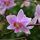 Beautiful Orchids by Paula Betz