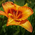 Orange Lily by Daniel H Chui