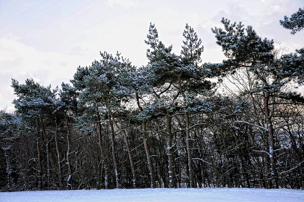 Frosted Pines by Karen  Betts