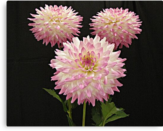 Pink Winners by Monnie Ryan