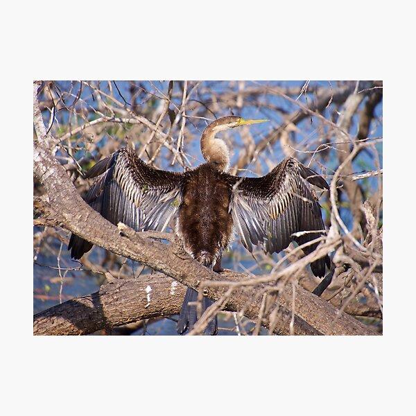 NT ~ MARINE BIRD ~ Australasian Darter 5XL455NS by David Irwin Photographic Print