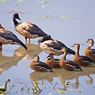NT ~ WATERFOWL ~ Magpie Goose and Wandering Whistling Duck by David Irwin by tasmanianartist