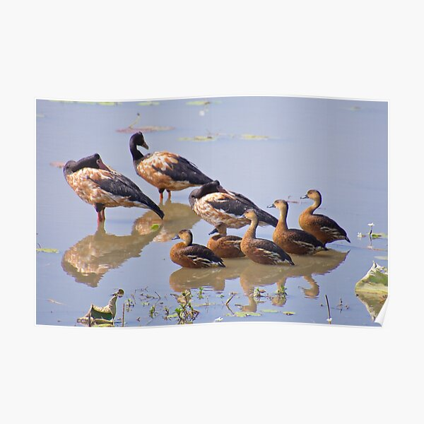 NT ~ WATERFOWL ~ Magpie Goose and Wandering Whistling Duck by David Irwin Poster