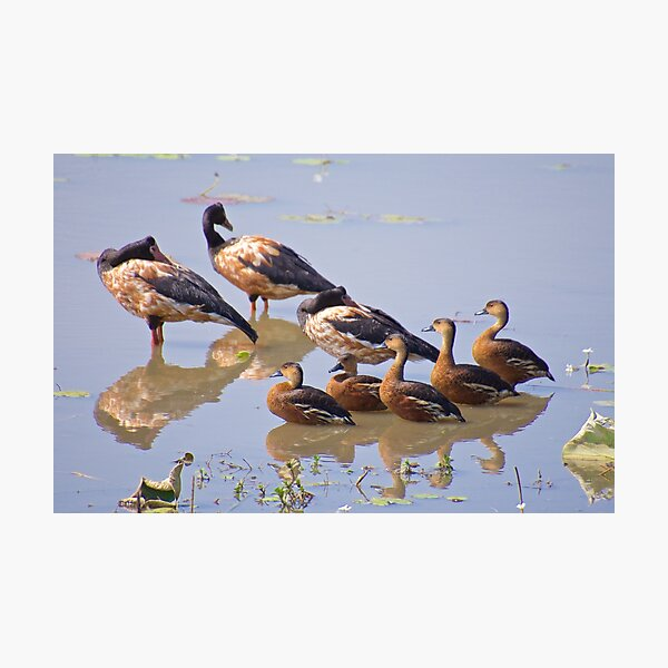 NT ~ WATERFOWL ~ Magpie Goose ZRQZSXJM and Wandering Whistling-Duck by David Irwin Photographic Print