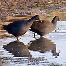 NT ~ WATERFOWL ~ Dusky Moorhen by David Irwin by tasmanianartist