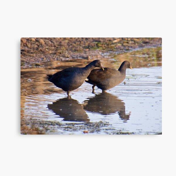 NT ~ WATERFOWL ~ Dusky Moorhen B4XU59DJ by David Irwin Canvas Print