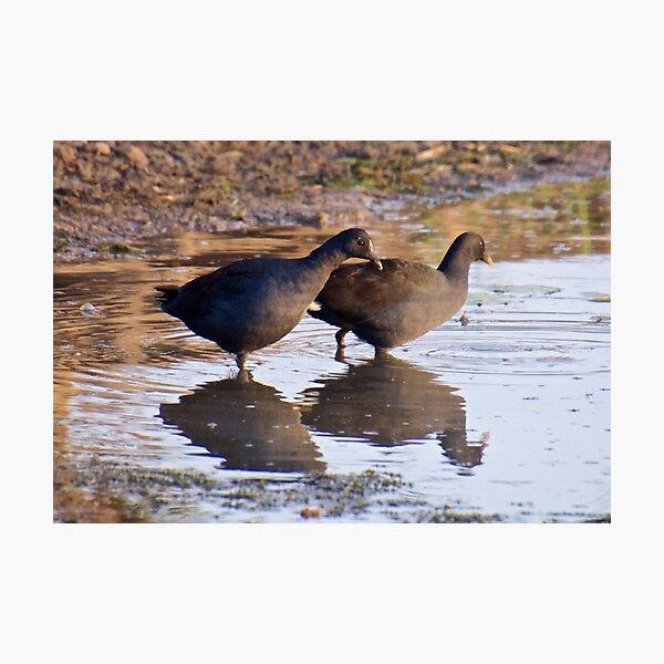 NT ~ WATERFOWL ~ Dusky Moorhen by David Irwin Photographic Print