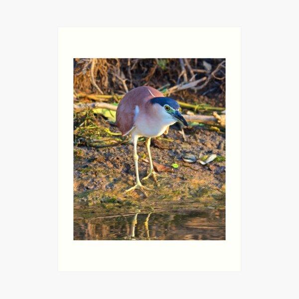 NT ~ WADER ~ Nankeen Night Heron 3BWP4WKH by David Irwin Art Print