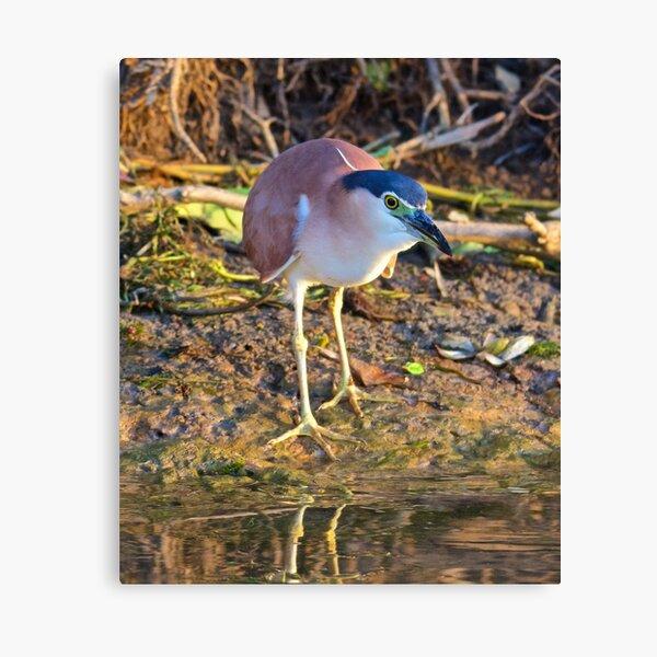 NT ~ WADER ~ Nankeen Night Heron by David Irwin Canvas Print