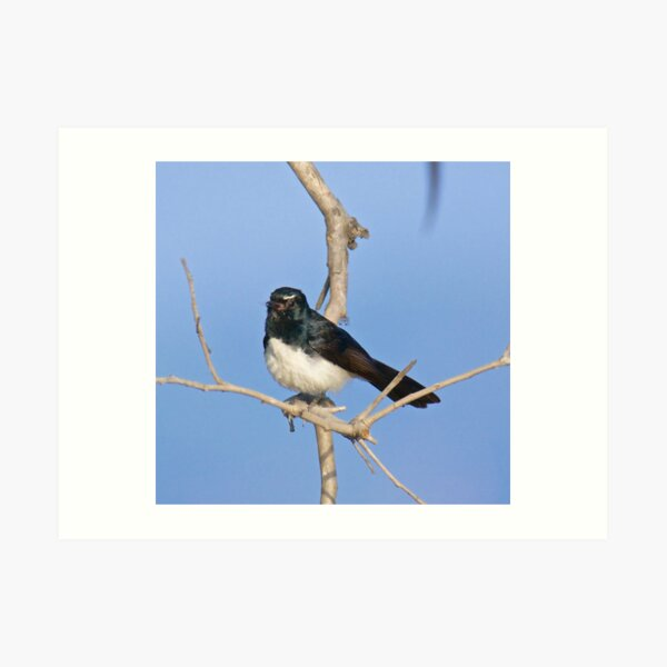 NT ~ FANTAIL ~ Willie Wagtail by David Irwin Art Print