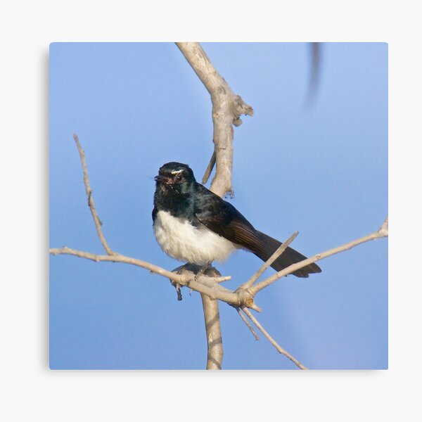 NT ~ FANTAIL ~ Willie Wagtail j4XKAodr by David Irwin Metal Print