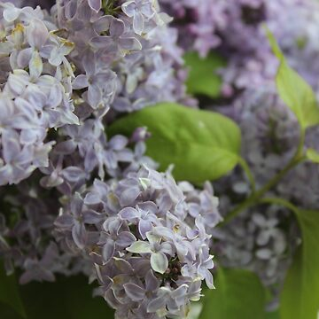 Everything Is Coming Up Lilacs by RosevineCottage
