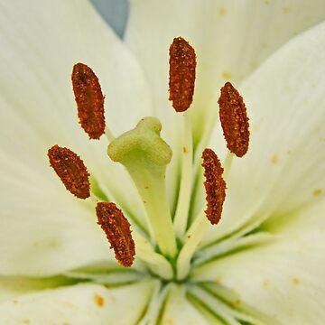 Yellow Lily Macro by AnnDixon