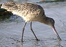 A Marbled Godwit by Betsy  Seeton