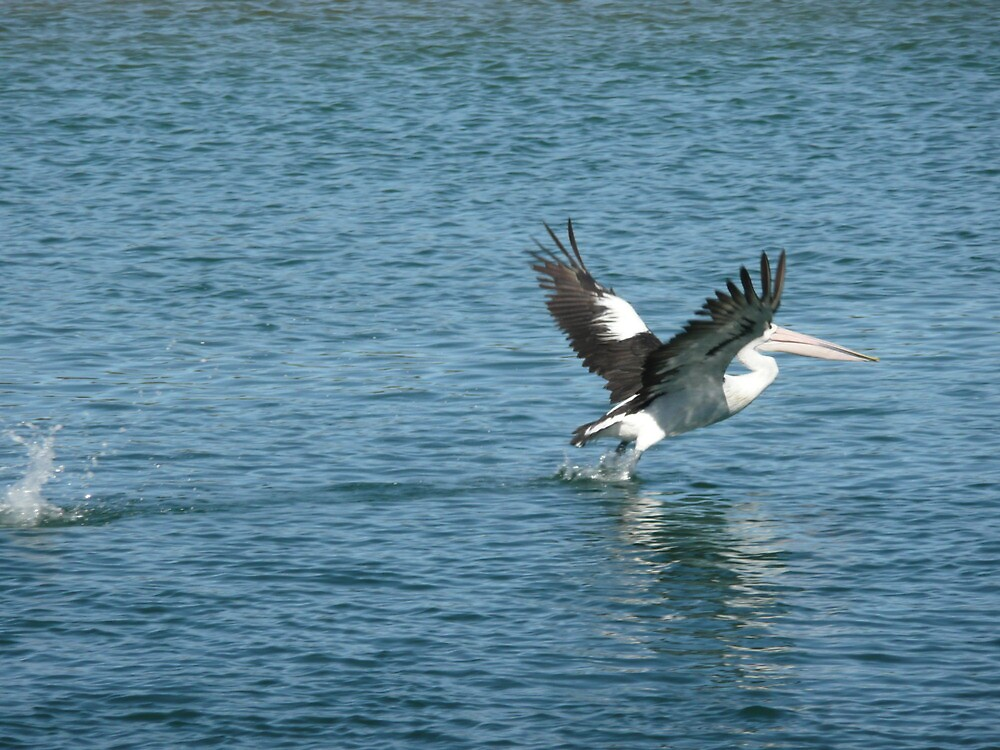 Pelican Take-off. by Mywildscapepics