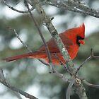 Male Cardinal by Tracy Wazny