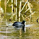 Coot by Trevor Kersley