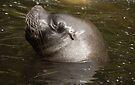 Sea Lion by Ryan Davison Crisp