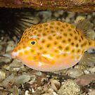 Eastern Smooth Boxfish - Anoplocapros inermis by Andrew Trevor-Jones