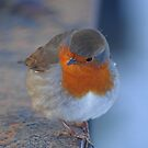winter robin by jaffa
