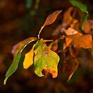 Fall Leaves by Jim Haley